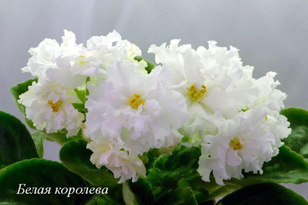 Фиалка Белая Королева (Е.Коршунова) фото