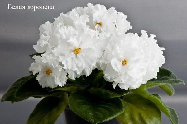 Фиалка Белая Королева (Е.Коршунова) фото1