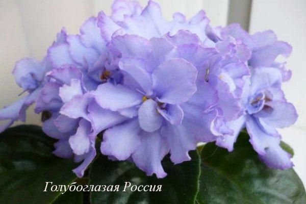 Фиалка Голубоглазая Россия (Е.В. Коршунова) фото1