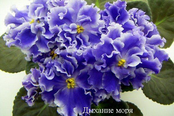 Фиалка Дыхание Моря (С.Репкина) фото