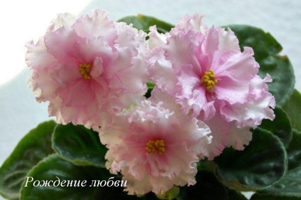 Фиалка Рождение Любви (Е.Коршунова) фото