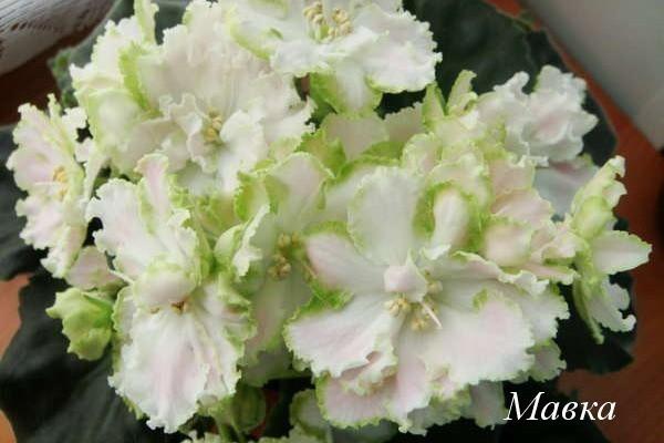 Фиалки - Отечественная селекция: листовые черенки, детки, стартеры, цветущие розетки.