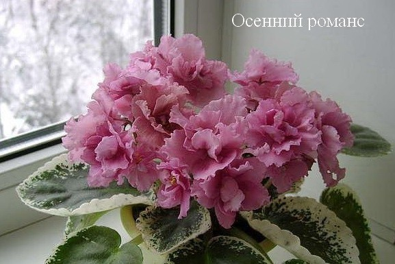 Фиалка Осенний Романс (Е.В.Коршунова) фото