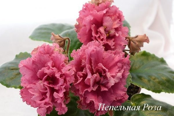 Фиалка Пепельная Роза (Е. Лебецкая) фото1