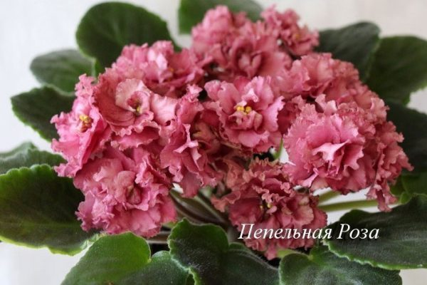 Фиалка Пепельная Роза (Е. Лебецкая) фото