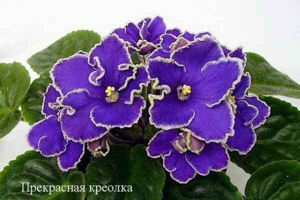 Фиалка Прекрасная Креолка (Е. Лебецкая) фото