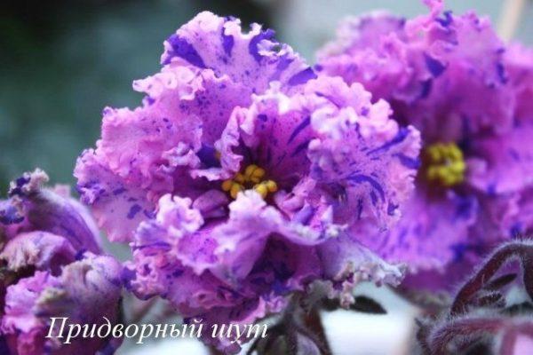 Фиалка Придворный Шут (С.Н. Репкина) фото