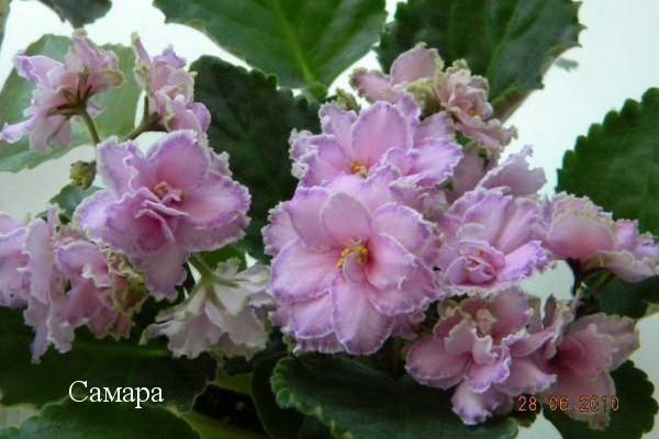 Фиалка Самара (Е. Лебецкая) фото