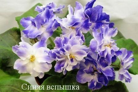 Фиалка Синяя Вспышка (К.Морев) фото