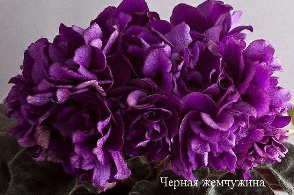 Фиалка Черная Жемчужина (Е.Коршунова) фото1