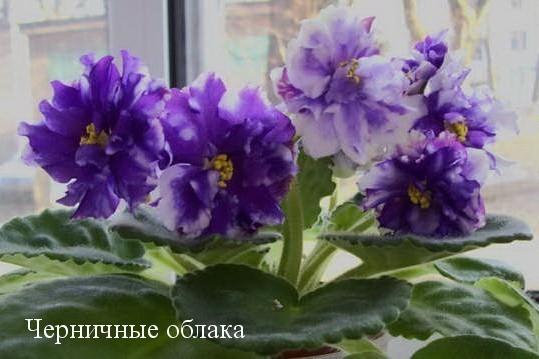 Фиалка Черничные Облака (С.Н. Репкина) фото