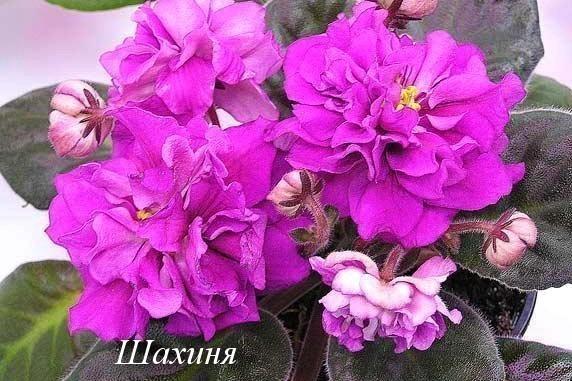Фиалка Шахиня (Е.Коршунова) фото