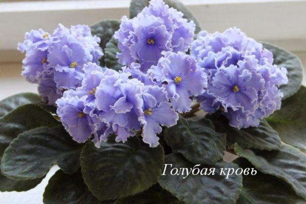 Фиалка Голубая Кровь (Е. Коршунова) фото