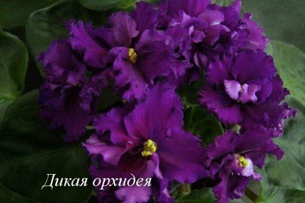 Фиалка Дикая Орхидея (Е. Коршунова) фото