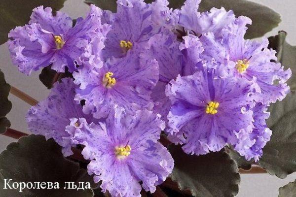 Фиалка Королева Льда (Е.В.Коршунова) фото