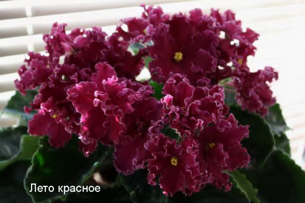 Фиалка Лето Красное (Е.Лебецкая) фото