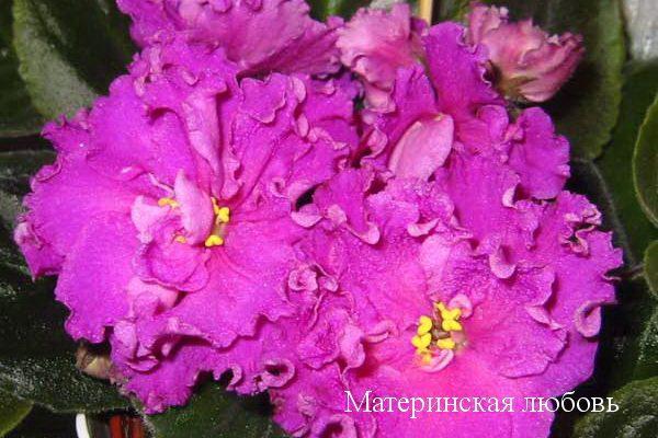 Фиалка Материнская Любовь(Е.В.Коршунова) фото