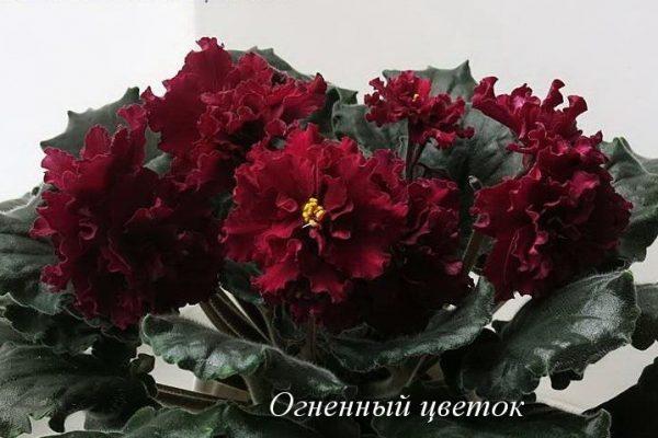 Фиалка Огненный Цветок (Е.Лебецкая) фото