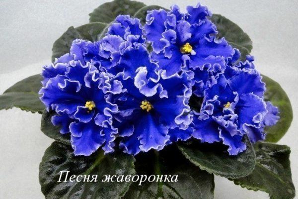 Фиалка Песня Жаворонка (Е.В. Коршунова) фото