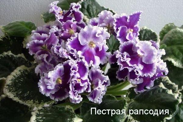 Фиалка Пёстрая Рапсодия (сеянец, Морев) фото