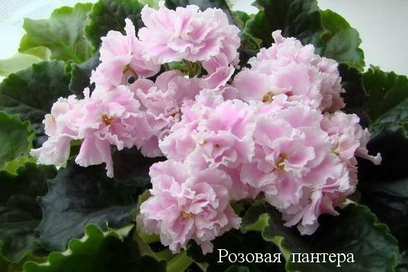 Фиалка Розовая Пантера (К. Морев) фото