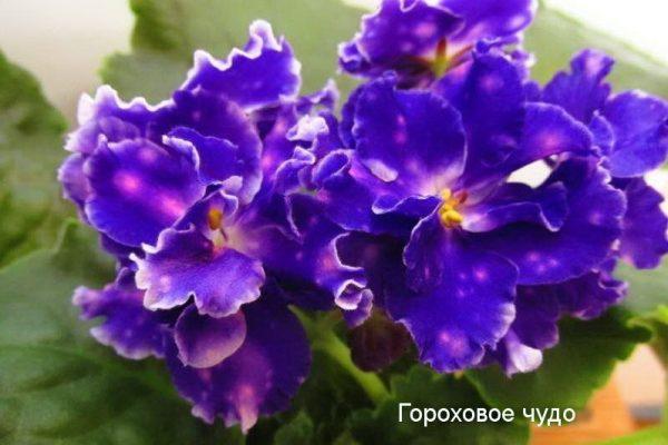Фиалка Чудо Гороховое (сеянец Морева) фото