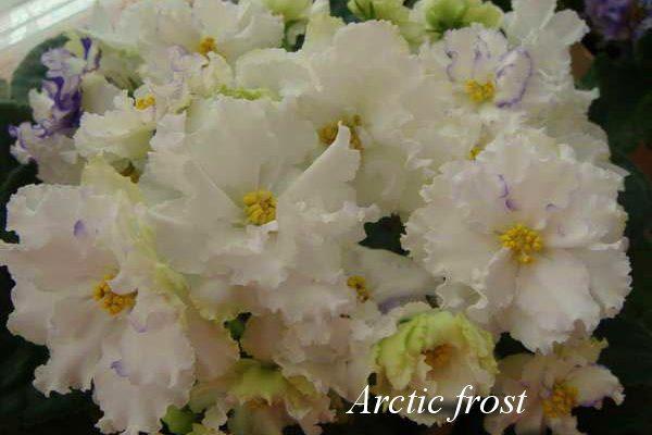 Фиалка Arctic Frost ( S.Sorano) фото2