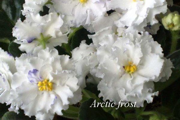 Фиалка Arctic Frost ( S.Sorano) фото1