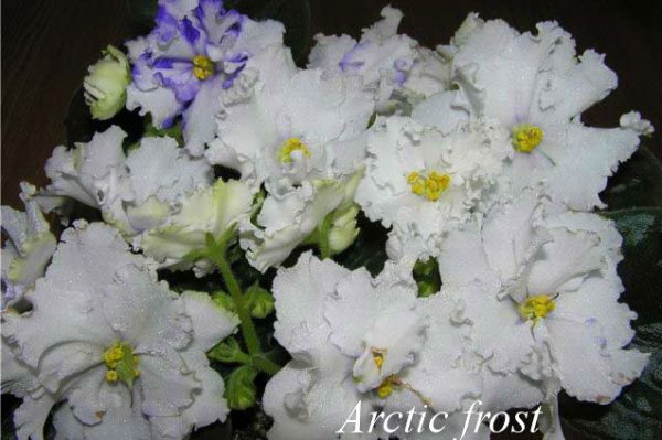 Фиалка Arctic Frost ( S.Sorano) фото