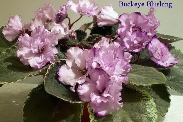 Фиалка Buckeye Blushing (Hancock) фото