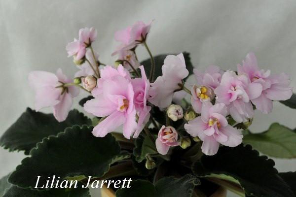 Фиалка Lilian Jarrett (F. Tinari) фото