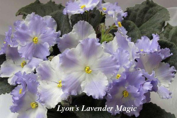 Фиалка Lyon's Lavender Magic (S.Sorano) фото