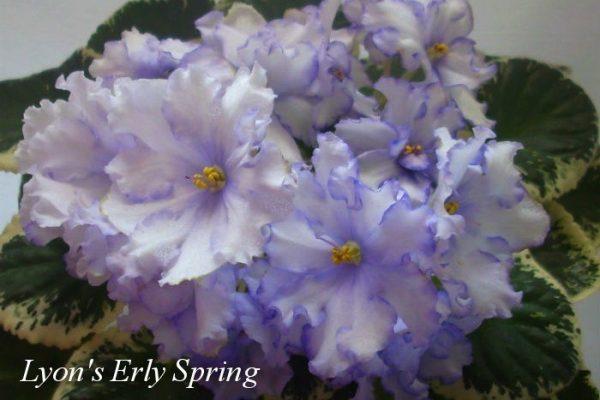 Фиалка Lyon's Early Spring (S. Sorano) фото