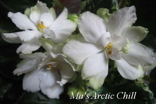 Фиалка Ma's Arctic Chill (O.Robinson) фото1