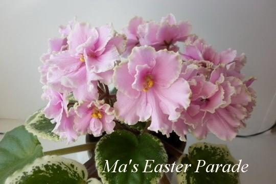 Фиалка Ma's Easter Parade (O. Robinson) фото