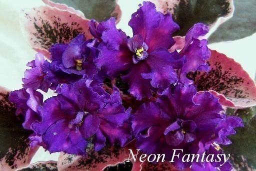 Фиалка Neon Fantasy (Sorano) фото
