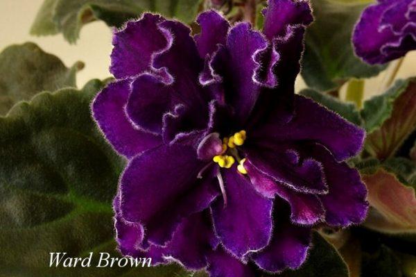 Фиалка Ward Brown (Brown/Domiano) фото
