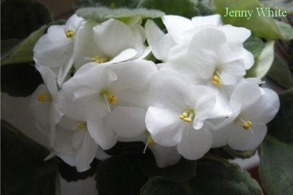 Фиалка Jenny White фото