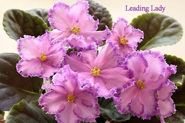 Фиалка Leading Lady (Sorano) фото