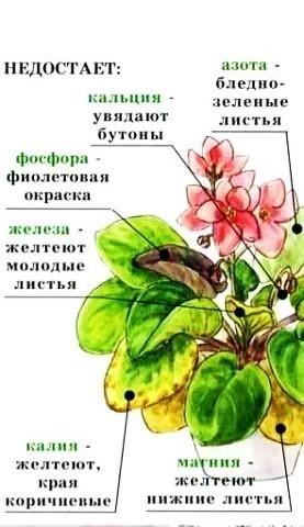 желтеют листья Заболевания фиалок (сенполий).