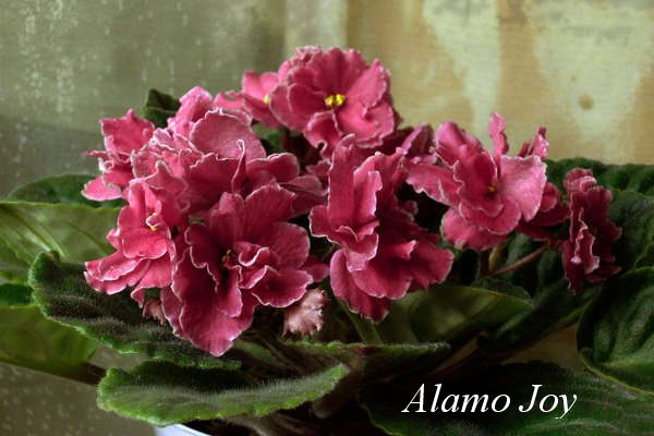 Фиалка Alamo Joy (H. Pittman) фото1