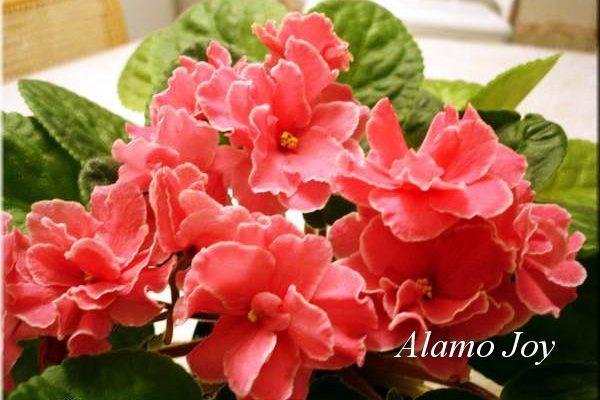 Фиалка Alamo Joy (H. Pittman) фото2