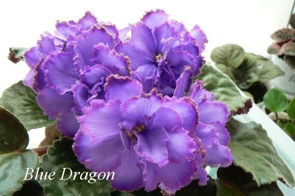 Фиалка Blue Dragon (Sorano) фото1