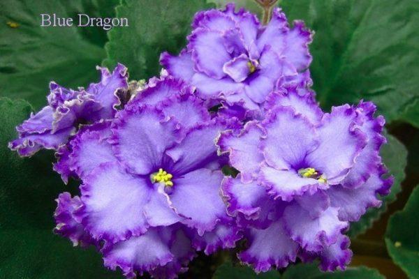 Фиалка Blue Dragon (Sorano) фото