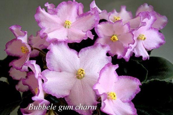 Фиалка Bubble Gum Charm (Sorano) фото