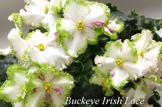 Фиалка Buckeye Irish Lace ( P. Hancock ) фото