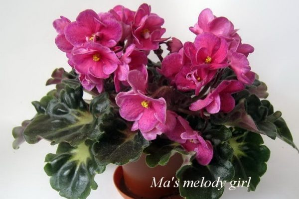 Фиалка Ma's Melody Girl (O.Robinson) фото