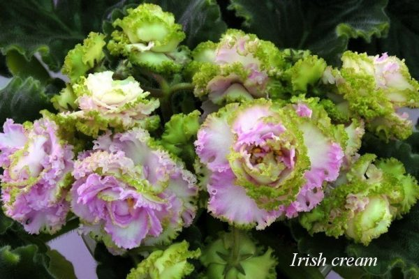 Фиалка Irish Cream (S. Sorano) фото1