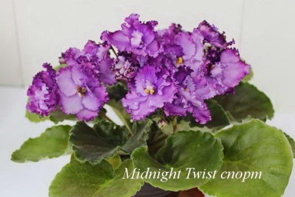 Фиалка Midnight Twist (S.Sorano) спорт фото