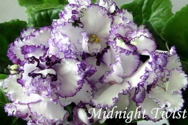 Фиалка Midnight Twist (S.Sorano) фото1